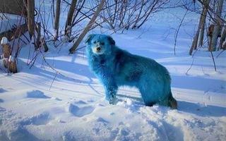 Video: Bầy chó màu xanh gây sửng sốt ở Nga