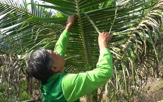 Video: Sâu 'lạ' đi đến đâu, dừa Bến Tre cháy khô, nông dân chỉ còn cách đốn bỏ