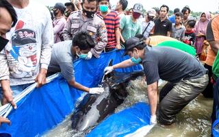 Video: Hàng chục con cá voi chết do mắc cạn tại Indonesia