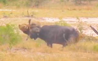 Video: Bị kẻ săn mồi phục kích, trâu rừng 'phản đòn' húc thủng bụng sư tử