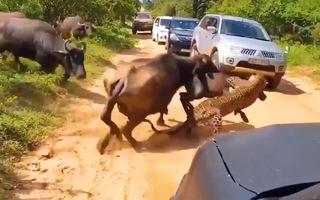 Video: Đi săn con mồi báo bị đàn trâu 'phản đòn'