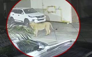 Video: Hoảng hốt phát hiện sư tử đi dạo trong khách sạn