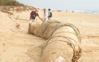 Video: Xác cá voi nặng 4 tấn trôi dạt vào bờ biển Quảng Nam