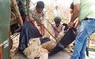 Video: Giải cứu con báo bị kẹt trong bẫy của thợ săn