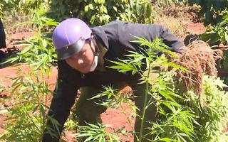 Video: 2 anh em ruột trồng hơn 1.500 cây cần sa 'làm thuốc sử dụng'