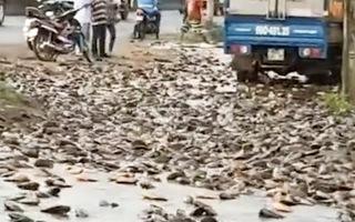 Video: Lật xe tải, hàng ngàn con cá rơi xuống đường ở Đồng Nai