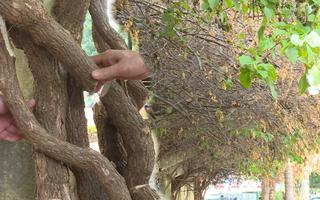 Video: Công an vào cuộc điều tra vụ kẻ gian cưa hạ giàn hoa giấy cổ thụ ở Đắk Lắk