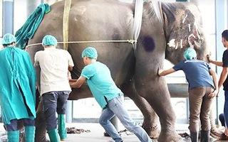 Video: Bác sĩ thú y thọc tay vào bụng voi, lấy ra viên sỏi mật nặng đến 1,7kg