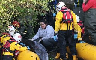 Video: Hàng trăm người tụ tập xem cá voi mắc cạn trên sông Thames