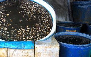 Video: Một cơ sở ngâm hóa chất 1,8 tấn thịt ốc để nở, bóng trước khi bán
