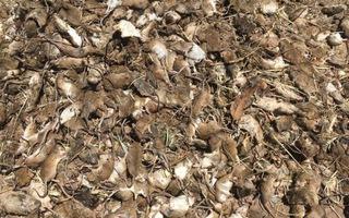 Video: Australia dùng hóa chất cực độc để đối phó với 'dịch chuột'