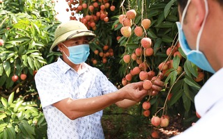 Video: Người Nhật mua 20 tấn vải thiều Bắc Giang chỉ trong 1 ngày
