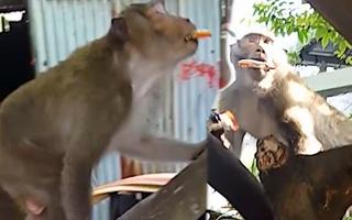 Video: Khỉ đuôi dài lại xuất hiện, 'trộm vặt' thức ăn nhà người dân ở quận 8
