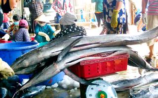 Video: Ngư dân Nha Trang trúng đậm cá cờ chuồn, cá thu ngừ, có con trên 100 kg