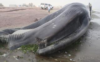 Video: Cá voi xanh bị tàu biển đâm chết