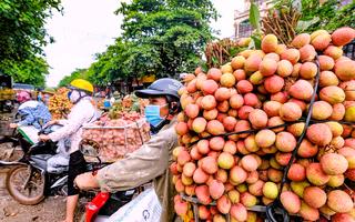 Video: Bắc Giang 'vòng vây ba lớp' bảo vệ 15.000 ha vải thiều Lục Ngạn đang vào mùa thu hoạch