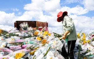 Video: Đau như cắt, hoa Đà Lạt xuất khẩu phải xay làm phân do vướng quy định mới