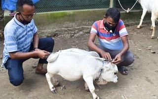 Video: Nhiều người đặt lịch để được tận mắt thấy con bò nhỏ nhất thế giới