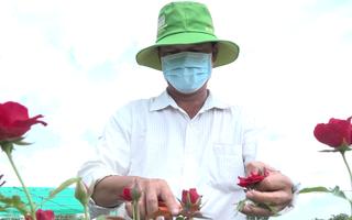 Video: Hàng chục ngàn chậu hoa hồng ở Sa Đéc không bán được vì dịch bệnh