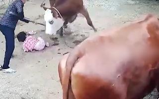 Video: Bò nổi điên tấn công bé gái tới tấp, người phụ nữ rất vất vả mới cứu được