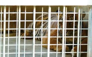 Video: 9 con hổ ở Nghệ An còn sống sau vụ 'giải cứu' hiện giờ ra sao?