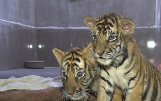 Video: 7 hổ Đông Dương con được cứu hộ uống 1,2 triệu đồng tiền sữa mỗi ngày