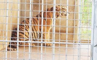 Video: Chưa có nơi nào nhận 9 con hổ ở Nghệ An, nuôi tốn 20 triệu đồng/ngày