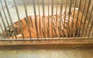 Video: Cận cảnh căn nhà có cách âm nuôi nhốt 17 con hổ, hàng xóm không hề hay biết
