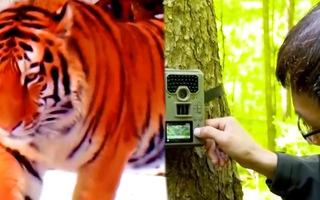 Video: Sử dụng công nghệ theo dõi chuyển động để bảo tồn hổ Siberia và báo Amur