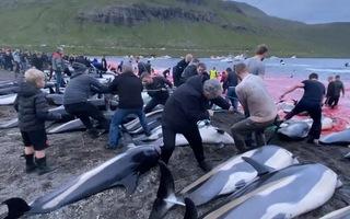 Video: Phẫn nộ cảnh hàng trăm người thi nhau giết 1.500 con cá voi