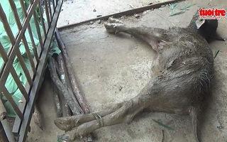 Nông dân điêu đứng vì trâu bò chết rét hàng loạt