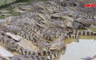 Thấp thỏm chờ giá cá sấu tăng