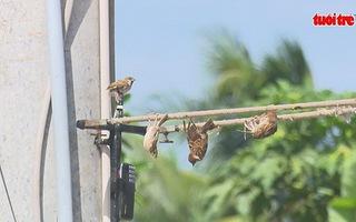 Cận cảnh bắt chim trời bằng keo dính chuột