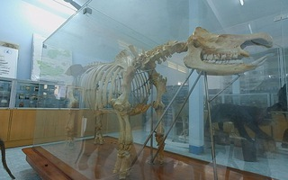 Trưng bày bộ xương tê giác Java một sừng ở Cát Tiên