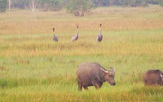 Sếu đầu đỏ về Vườn quốc gia Tràm Chim
