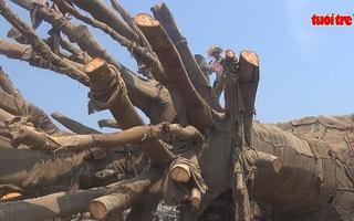 """Ba cây """"siêu khủng"""" được cắt gọn để chuẩn bị chuyển đi"""