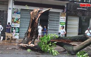 Mưa giông xé đôi gốc cây phượng vĩ cao hơn 20 mét