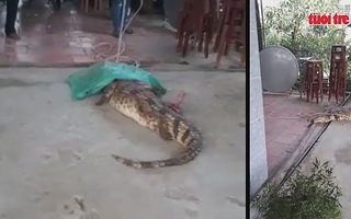 Người dân bắt được hai cá sấu trong khu dân cư