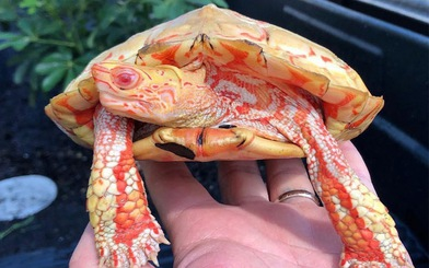 Lạ lùng rùa bạch tạng đỏ như 'rồng lửa'