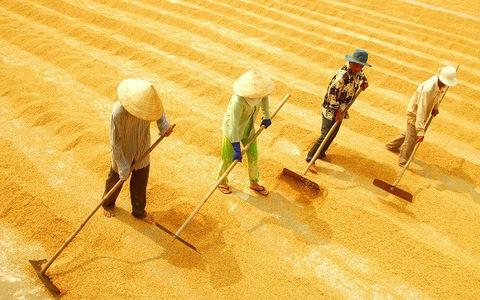 Giá lúa Đồng bằng sông Cửu Long tăng cao những tháng cuối năm