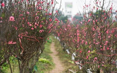 Vườn đào Nhật Tân rực sắc hồng đón Tết
