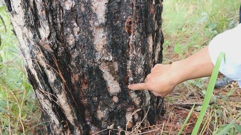 151 cây thông rừng Đà Lạt bị 'ám sát' bằng thuốc diệt cỏ