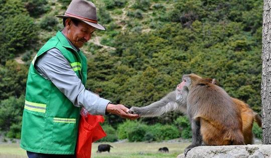 'Người cha' của đàn khỉ 2800 con trên cao nguyên Tây Tạng