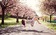 Đi Nhật Bản ngắm hoa anh đào ở đâu đẹp nhất?