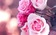 Hà Nội tổ chức lễ hội hoa hồng Bulgaria và bạn bè