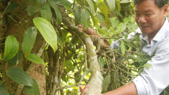 Những cây tiêu 'khủng' ở Tiên Phước