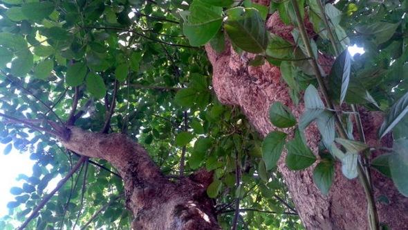 Kết quả hình ảnh cho cây nhội