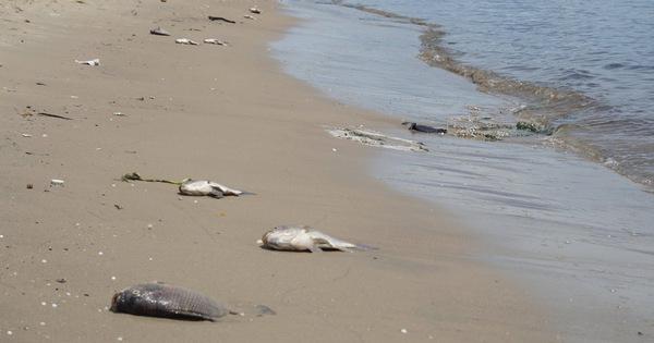 Lại xuất hiện cá chết trên kênh Phú Lộc, Đà Nẵng