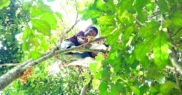 Mùa thu hoạch bòn bon 'ăn hoài mệt nghỉ' ở xứ Quảng