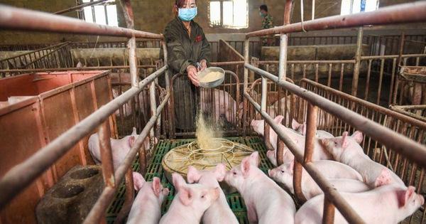 Doanh số điện thoại thông minh giảm, Huawei chuyển sang các trại nuôi heo